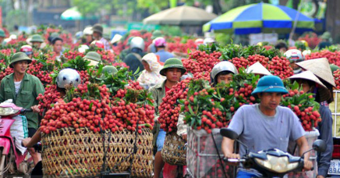 Bac-Giang-Earns-5.4-Trillion-VND-From-Lychees-SAFIMEX