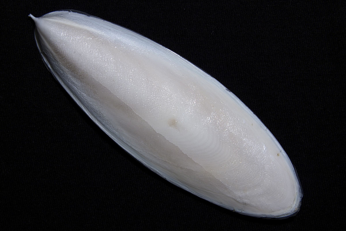 cuttle fish bone safimex
