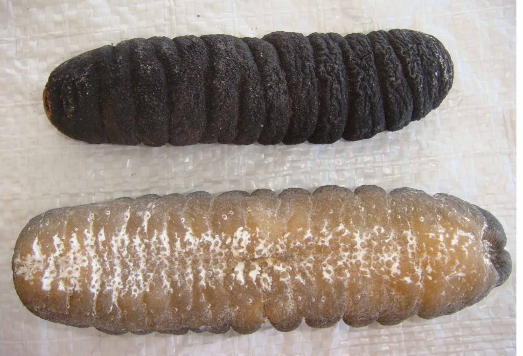 8 Health Benefits of Sea Cucumber You Have To Know