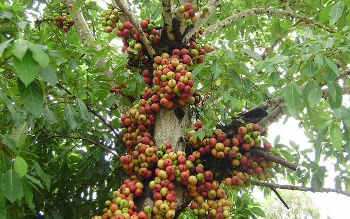 Figs Or Anjeer VIETNAM SAFIMEX