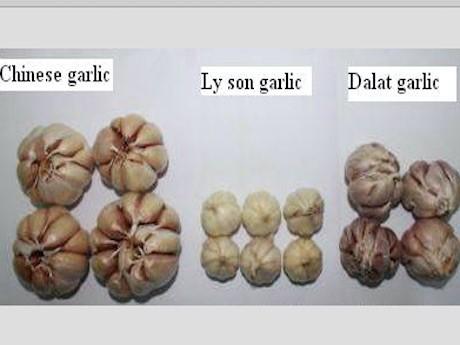 Garlic vietnam ly son
