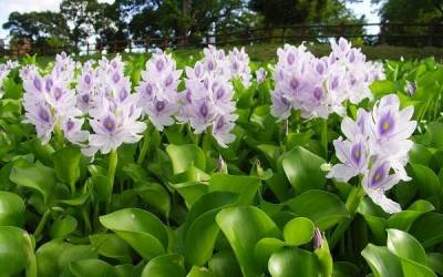 Turning water hyacinth into valuable handicrafts