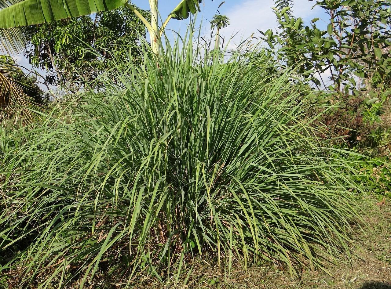 Lemongrass tree