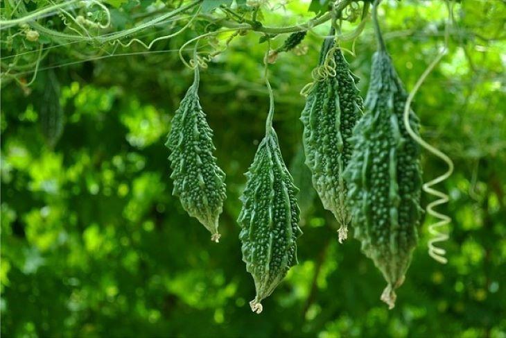 Forest Bitter Melon