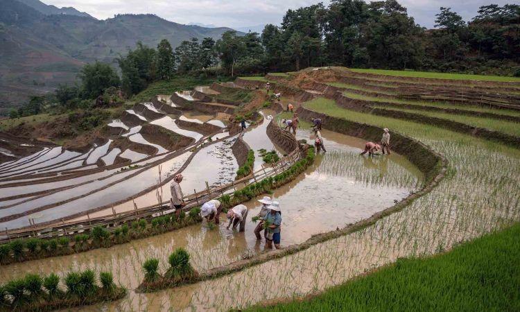 Rice fields SAFIMEX