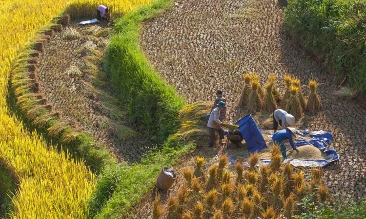 rice harvest SAFIMEX